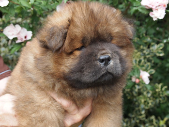 Chow Puppies 2015 - born June 26