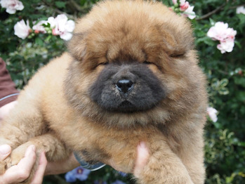 Chow Puppies 2015 - born June 26-2