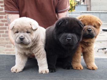 Chow Puppies 2015 - born July 9