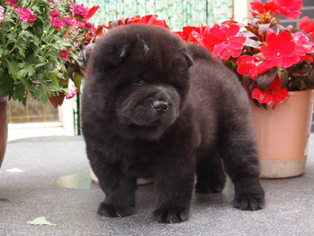 Chow Puppies 2015 - born July 9-3